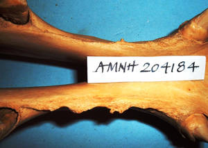 Figure 2. Bit-induced bone spurs on the bars of the mouth, on the right bar especially. The first cheek tooth in the lower jaw is on the left of the picture and the tush (canine tooth) on the right. (Courtesy of American Museum of Natural History) © RobertCook