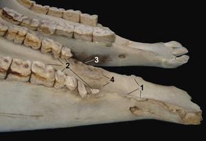 Der Unterkiefer zeigt einen Teil des physischen Traumas auf den Unterkiefer und die Zähne durch das Zaumgebiß. 1 = Knochenveränderungen an den Unterkieferschenkeln; 2 = Abnutzungen an den ersten drei Backenzähnen durch den permanenten Gebißdruck und den Versuchen des Pferdes, durch Beißen auf das Metall dem Schmerz auszuweichen; 3 = Verlust der ersten Backenzähne; 4 =Periostitis der leeren Alveolen. Vergleiche mit dem normalen Unterkiefer darüber. © Foto: Robert Cook