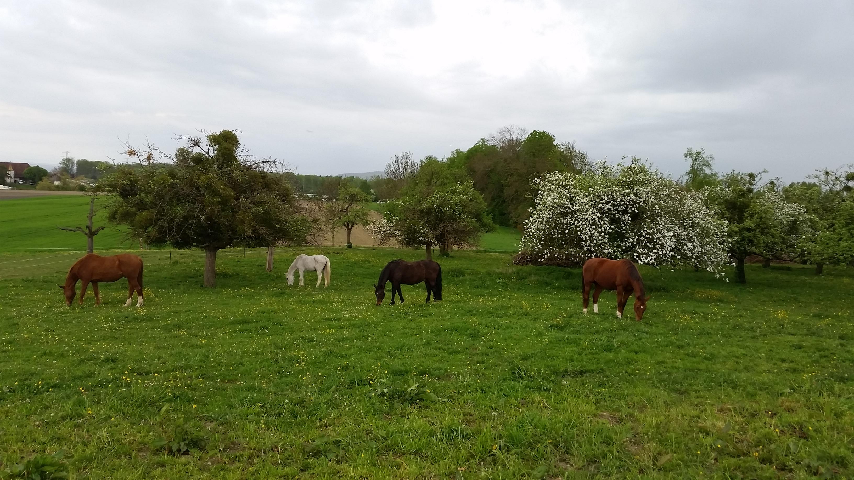 Seit 2002 leben wir jetzt in der Schweiz auf einer grünen Wiese mit Bäumen und Kräutern, mit vielen hohen Bergen rundherum. - Alles was ein Pferdeherz sich wünscht! - ..... 2014 © Heike Veit