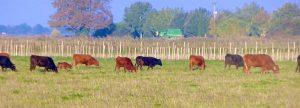 In der Camargue sind die schwarzen Camargue-Stiere und die braunen spanischen zu Hause. © 2016 Foto: Elke Backert