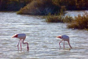 Fast immer sieht man die Flamingos mit dem Kopf im Wasser. © 2016 Foto: Elke Backert