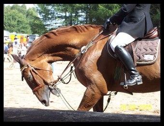 Die Kopfbewegung des Pferdes wird durch Hilfszügel und Ziehen am Zügel extrem verhindert ©Rheinwald