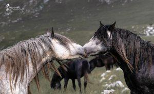 Zwei Junghengste beschnuppern sich um den Rang zu klären. © Foto: Maksida Vogt