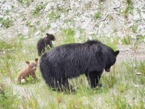 Bärenmama mit zwei Jungen bei Jasper. © Foto: Rainer Hamberger