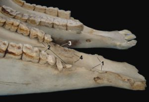Gezeigt werden physische Traumata von Kiefer und Zähnen, verursacht durch das Trensengebiss: 1 = Knochensporne auf den scharfen Knochenkanten des Unterkiefers; 2 = Erosion der ersten drei Backenzähne von konstantem Gebissdruck eines Pferdes, das versucht, sich zu verteidigen, indem es das Gebiss mit den Zähnen packt; 3 = Verlust des ersten Backenzahns; 4 = Entzündung der Zahnalveole. Vergleiche mit dem normalen Kiefer oben. © Foto: Robert Cook