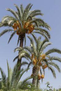 Majestätische Palmen in Marrakesch. © 2017, Foto: Dr. Bernd Kregel