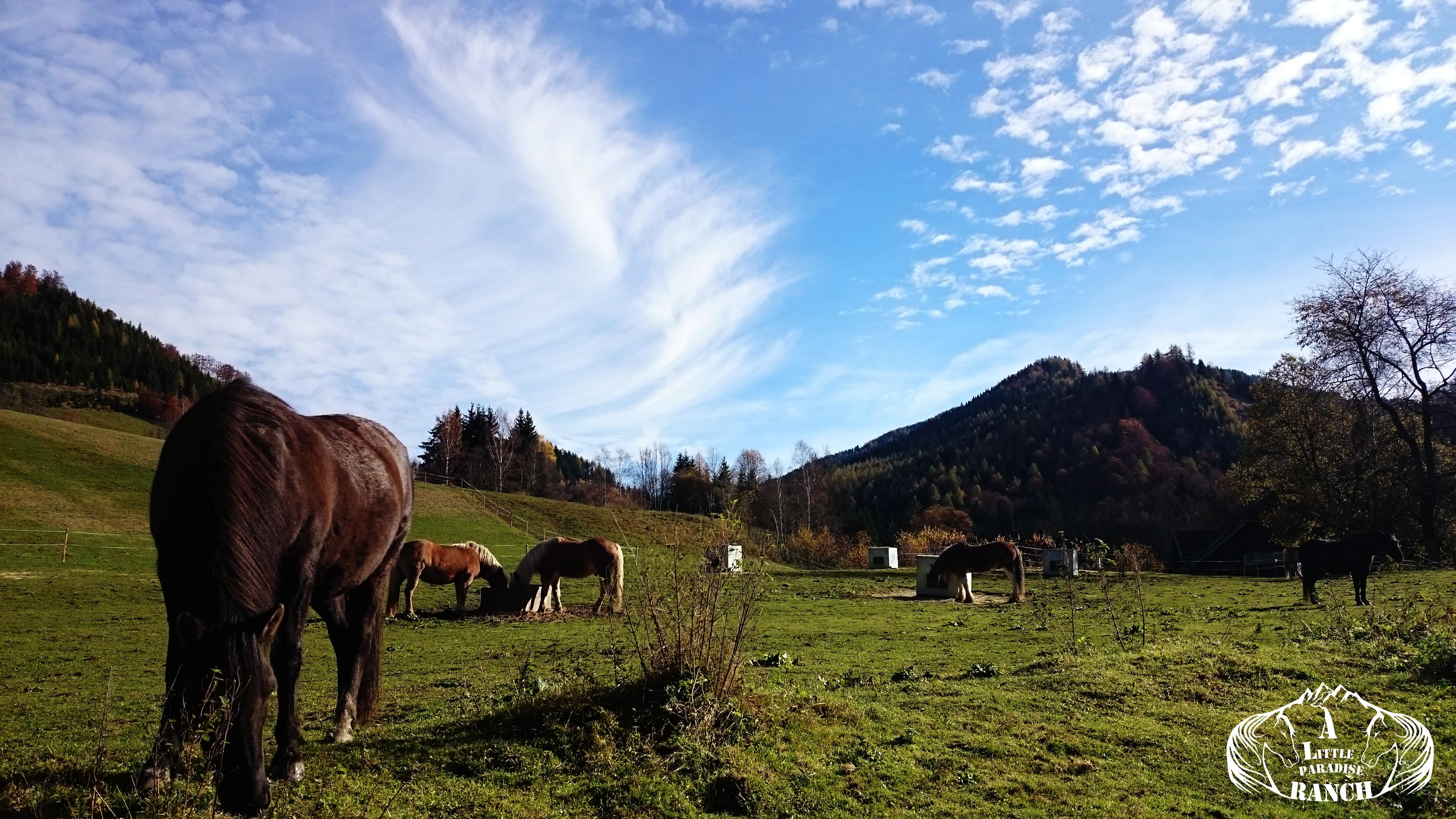 Der Alltag der Herde, es wird gedöst, gegrast und manche sind am Heu und der Luzerne. Jeder kann frei entscheiden, was er wählt und wann. BU: Lisa Spitzer, 2016, ©Lisa Spitzer