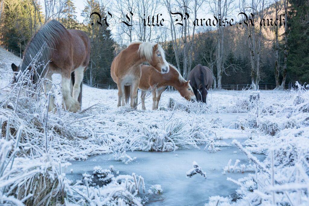 Die Herde im Winter an einem der Bachläufe, der im Winter teilweise friert. Sie leben mit den Jahreszeiten und ihr Rhythmus richtet sich danach. BU: Lisa Spitzer, 2016, ©Lisa Spitzer