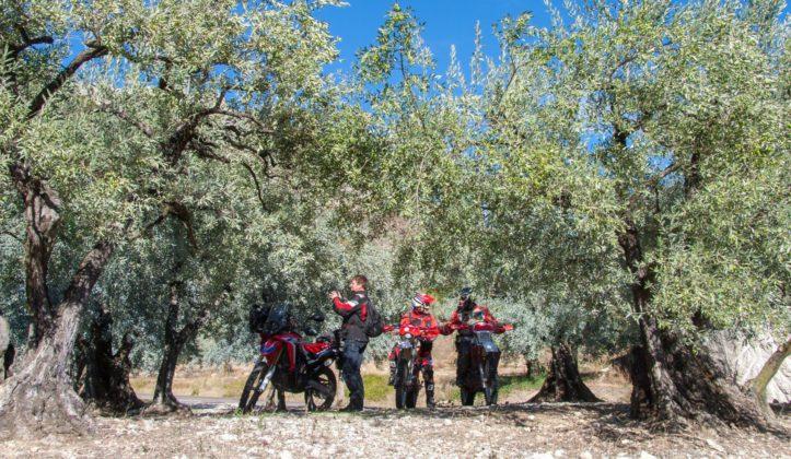 Olivenplantage in den Baronnies.