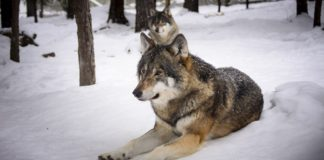 Wölfe im Schnee.