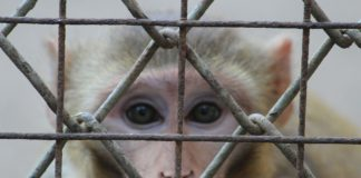 Affe hinter Gittern (Symbolbild).