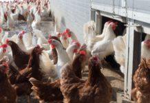 Hühner in der Massentierhaltung.