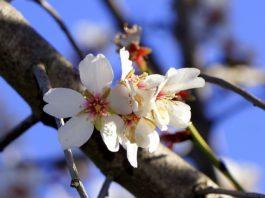 Mandelblüten.