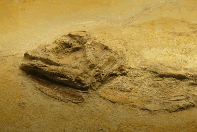 Ein Fossil im Jura-Museums Eichstätt.