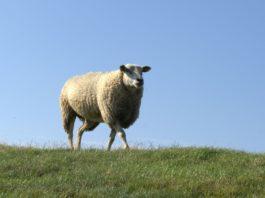 Ein Schaf auf einem Deich.