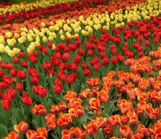 Keukenhof bei Lisse in Holland.