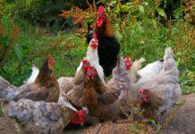 Hühner, die picken.