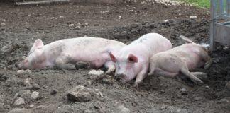 Drei Schweinchen.