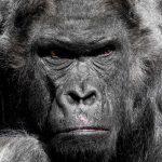Gerd Gorilla