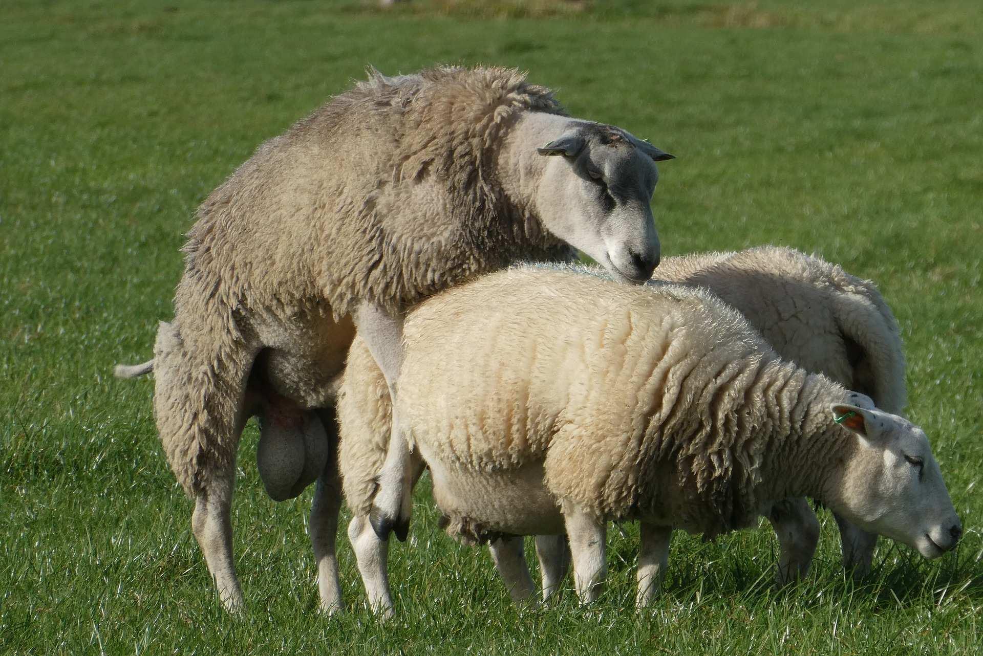 Schafe Ficken